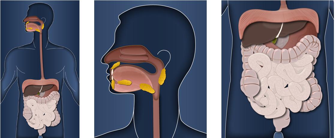 08_Vektorgrafik-Innere-Organe.jpg