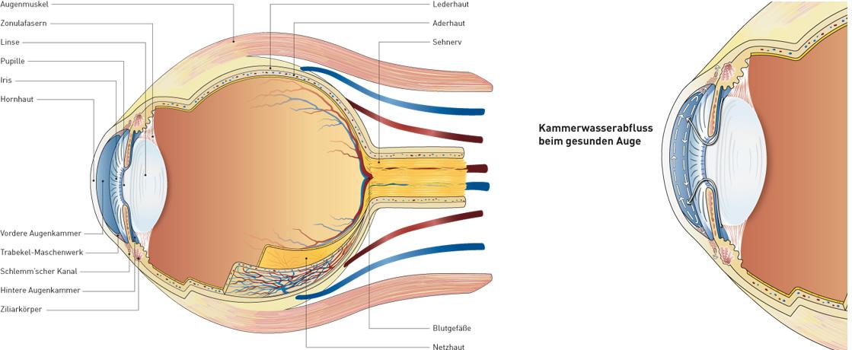 11_Vektorgrafik-Auge-im-Querschnitt.jpg